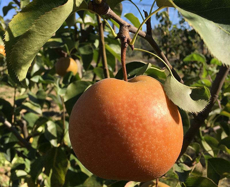 Pear nashi variety Aky